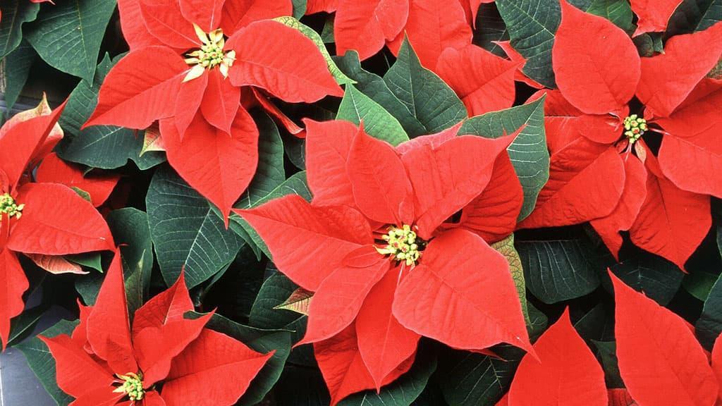 les fleurs de poinsettia rouges